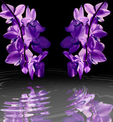 lilac flowers Orchid in water