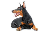 Lying playful dobermann pinscher on isolated white background