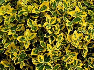 ornamental bush with green and yellow leaves