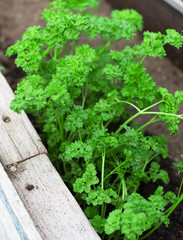 Top view of green young parsley seedlings.