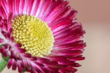 daisy pink macro flower spring in the garden
