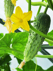 cucumber and flower