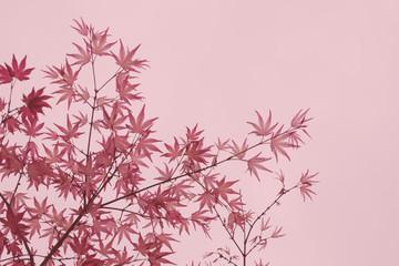 maple foliage (Acer Palmatum Shindeshojo) shallow DOF background