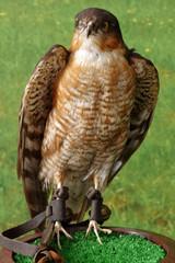falcon taxidermy