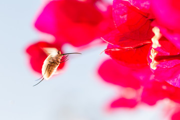 Bee fly hovering in Andalucia Spain.