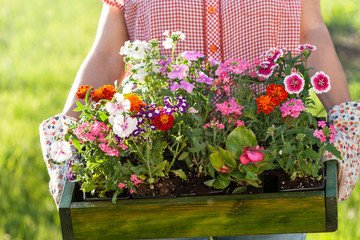 gardener holding box with flower seedlings