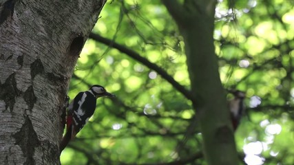 Buntspechte füttern ihre Jungen in einer Birke im Frühling