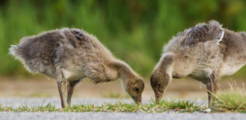goose (Anser anser) - Lake Neusiedl