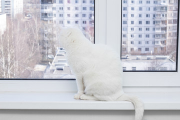 White cat with blue eyes wants to the street