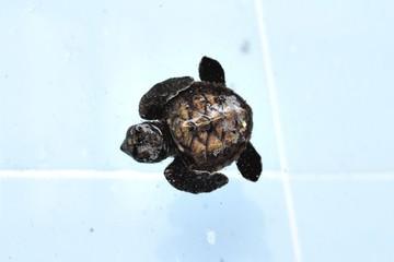 Sea Turtle swimming in the pool