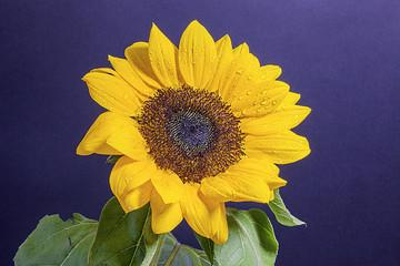 Girasole giallo su sfondo nero