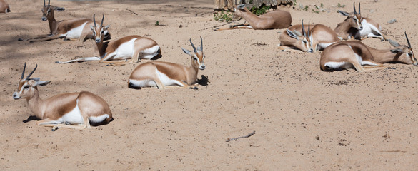 Saharian Dorcas Gazelles  on sand