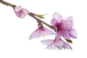 Flores del árbol del melocotón aisladas sobre fondo blanco