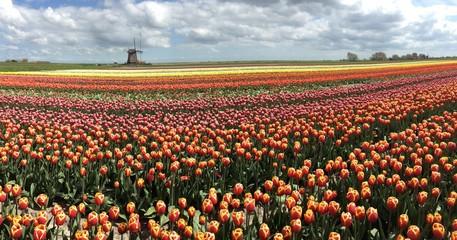 Wind Mill in a tulips field