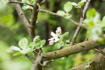 colorful flowers on branch of apple tree in green orchard garden