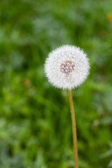 white dandelions flowers in green grass in summer garden