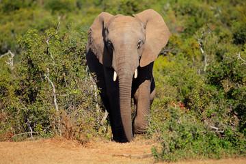 Baby African elephant, Addo Elephant National Park