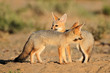 Постер, плакат: Cape foxes at their den Kalahari desert