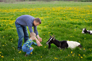 Young man and his child feeding goat on meadow in spring
