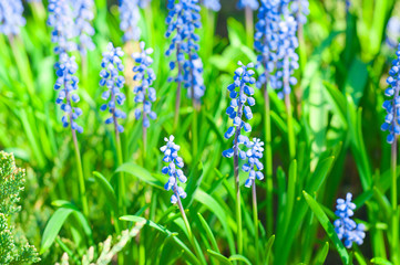 Blue Muscari Mill flowers, bluebell blooming in garden