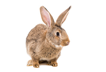 Portrait of a brown rabbit isolated on white background
