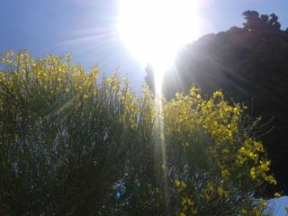 Ginestra al sole