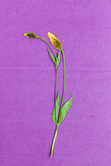 Stem of a pressed and dried flowers on bright purple background.