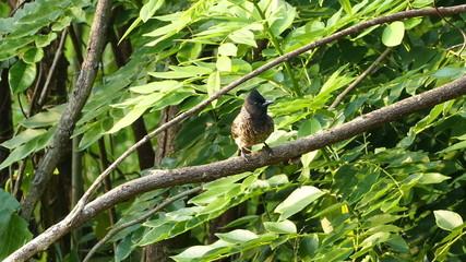 mountain bulbul bird (Ixos mcclellandii peracensis)