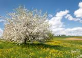 Üppig blühender Apfelbaum in einer Blumenwiese