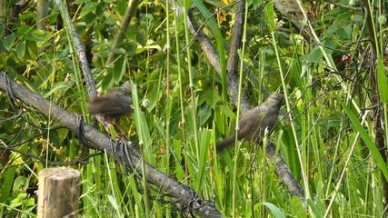 jungle babbler birds (Turdoides striatus)