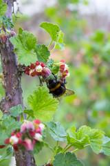 Bumblebee on currants