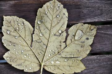 Herbstblatt mit Tautropfen frontal