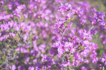 Pink spring flowering shrub, Rhododendron Ledebour