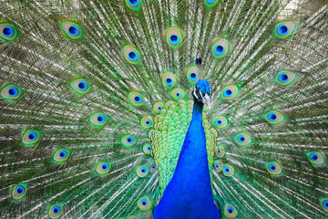 peacock wheel close up