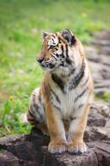 adorable tiger cub sitting