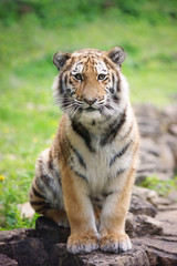 young tiger cub sitting