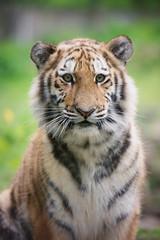tiger cub portrait close up