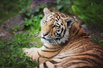 young tiger cub resting