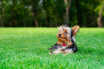 Beautiful puppy Yorkshire Terrier on the grass