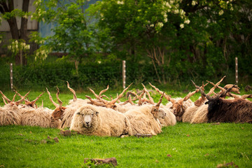 Sheep herd on the pasture