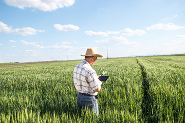 Farmer standing in a wheat field and looking at tablet