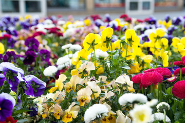 Daisies / beautiful Daisies in a flower bed