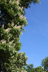 White flowers of chestnuts with blue sky