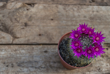Beautiful blooming cactus on wooden background