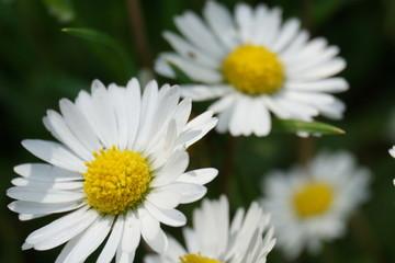 Gänseblümchen  Sommerwiese