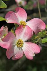 grandi fiori rosa; cornus
