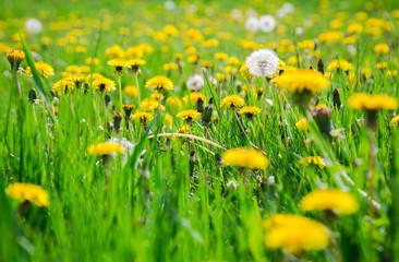 Yellow dandelions on green meadow