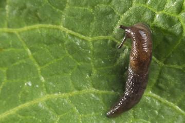 Common Garden Slug