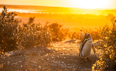 Magellanic Penguins, early morning at Punto Tombo, Patagonia