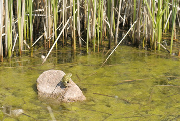 American Toad in the Reeds